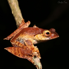 Madagascar bright-eyed frog