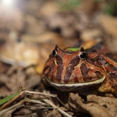 Hybrid cross between Surinam horned frog and Cranwell's horned frog
