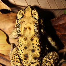 Black-spined toad adult, Hong Kong