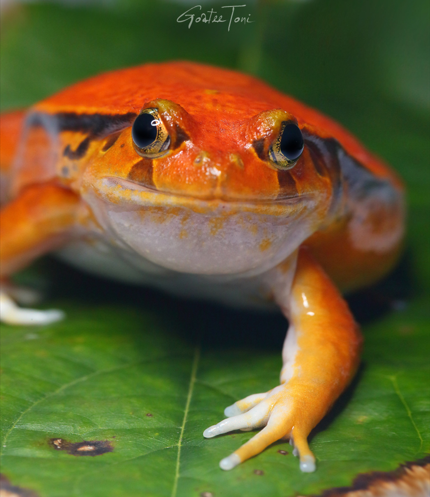 Southern tomato frog