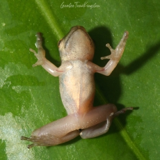 Hong Kong whipping frog froglet playing dead