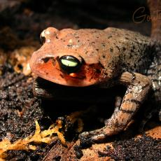 Leishan moustache toad