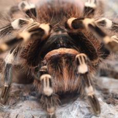 Brazilian white knee tarantula