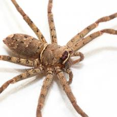 Huntsman spider, Hong Kong