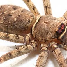 Huntsman spider close up, Hong Kong