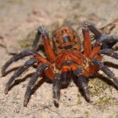 Malaysian trapdoor spider