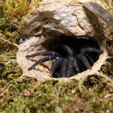 Giant Malaysian armored trapdoor spider