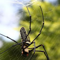 Giant golden orb weaver spider with spiderlings, Hong Kong