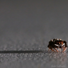 Jumping spider, Hong Kong