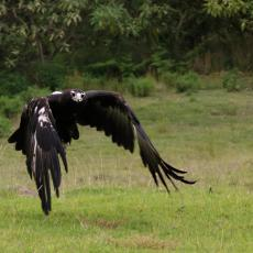 Wedge-tailed eagle, in flight, Australia