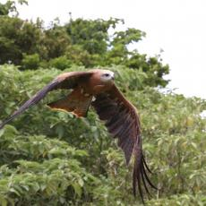 Black kite in flight, Australia