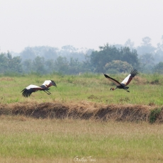 Gray crowned cranes, Uganda, in-flight