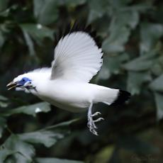 Bali myna in flight