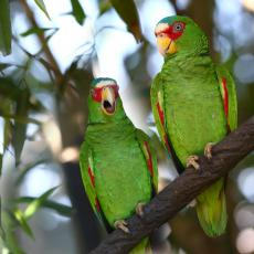 White-fronted amazon parrots
