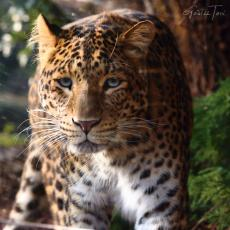 North-Chinese leopard