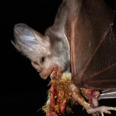 Ghost bat feeding, Australia