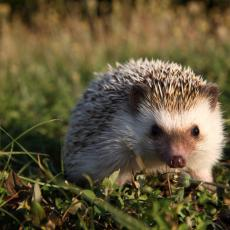 African four-toed hedgehog