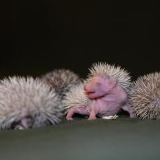 African four-toed hedgehog infants