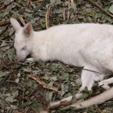 Albino Red-necked wallaby