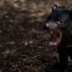 Tasmanian devil with mouth open