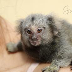 Common marmoset baby