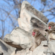 Japanese macaques, Snow monkeys