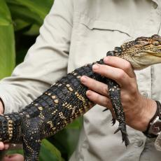 Juvenile American alligator