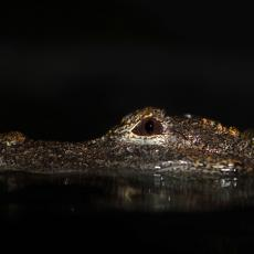 Chinese alligator, critically endangered