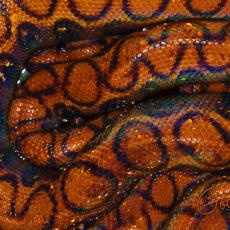 Brazilian rainbow boa back pattern