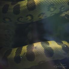 Green anaconda under water