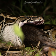 Burmese python swallowing prey, Hong Kong