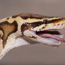 Royal python swallowing prey