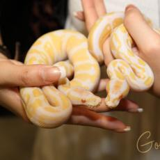 Albino Royal pythons