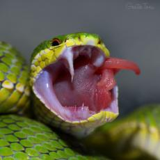 White-lipped bamboo pit viper, fangs close up, Hong Kong