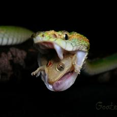 Wagler's pit viper swallowing gecko