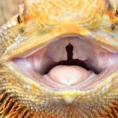 Bearded dragon choanal slit and oral cavity close up