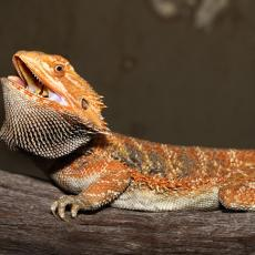 Bearded dragon with mouth open