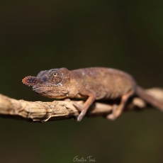Lance-nosed chameleon, female, Madagascar