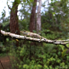 Nose-horned chameleon, Madagascar