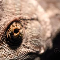 Veiled chameleon eye close up