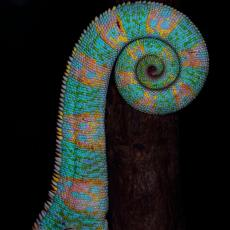 Veiled chameleon tail