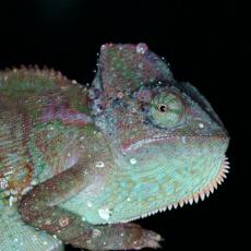 Veiled chameleon close up