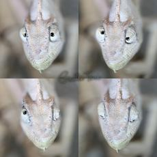 Veiled chameleon eyes