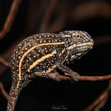 Jewelled chameleon, Madagascar
