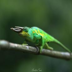 Johnston's chameleon, Uganda