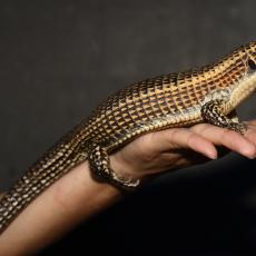 Sudan plated lizard