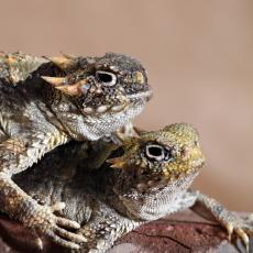 Desert horned lizards