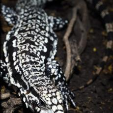 Argentine black and white tegu
