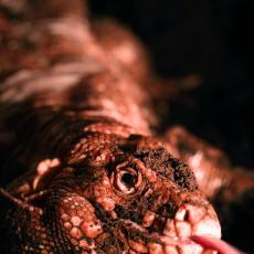 Argentine red tegu showing tongue