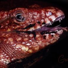 Argentine red tegu with open mouth